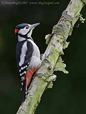 Male Great-spotted Woodpecker