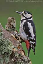 Male Great-spotted Woodepecker