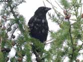 Carrion Crow in Moult