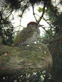 Juvenile Green Woodpecker