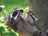Male Great Spotted Woodpecker feeding juvenile