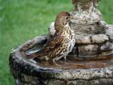 Song Thrush in birdbath