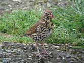 Song Thrush with Snail
